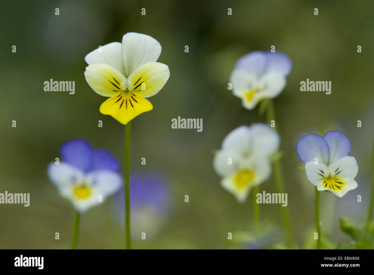 heart's ease, heartsease, wild pansy, three colored violet (Viola tricolor), blooming, Germany - Stock Image