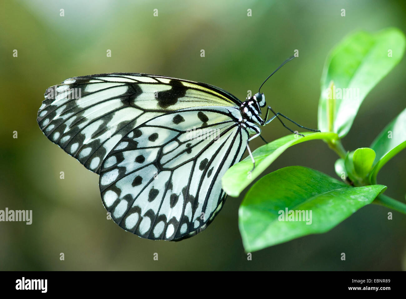 White Tree Nymph, Paper Kite, Rice Paper butterfly (Idea leuconoe), sitting on a leaf, Germany - Stock Image