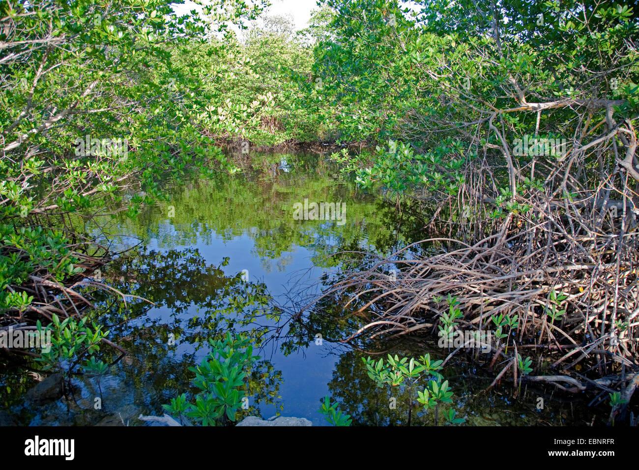 mangroves of Sanibel Island, USA, Florida, J.N. Ding Darling National Wildlife Refuge, Fort Meyers - Stock Image