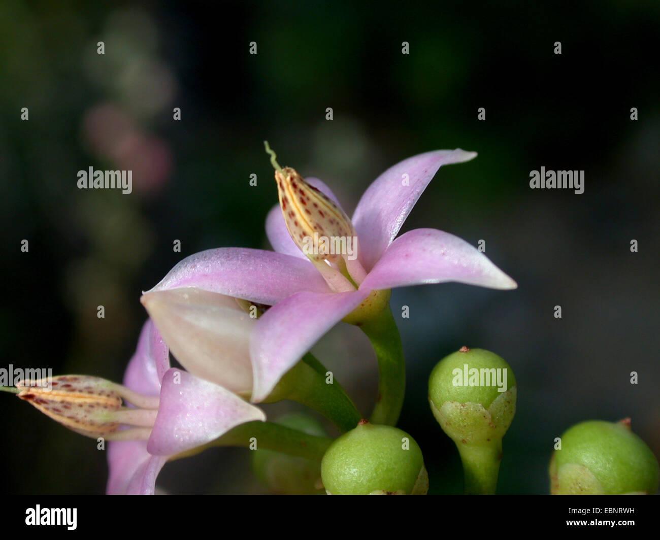 Grewia (Grewia floribunda), flower - Stock Image