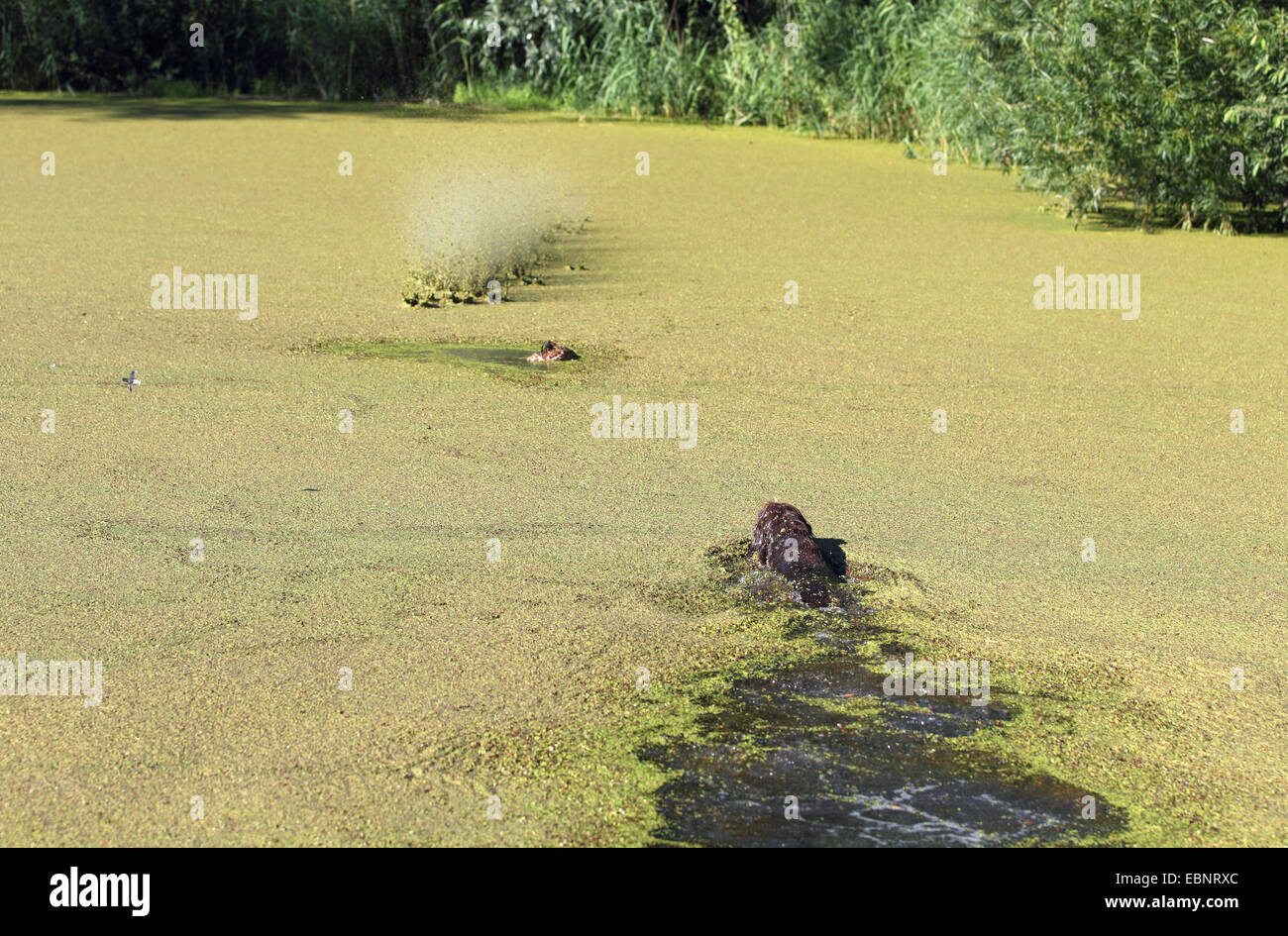 hunting dog training: dog retrieves a dead duck coincident with a shot in the water, Germany, North Rhine-Westphalia - Stock Image