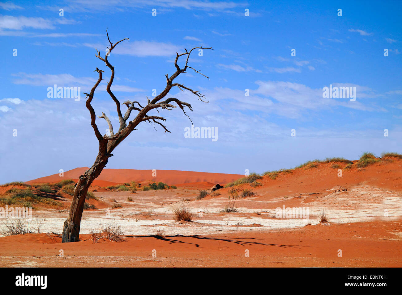 dead tree in the desert, Namibia, Namib Naukluft National Park, Sossusvlei - Stock Image