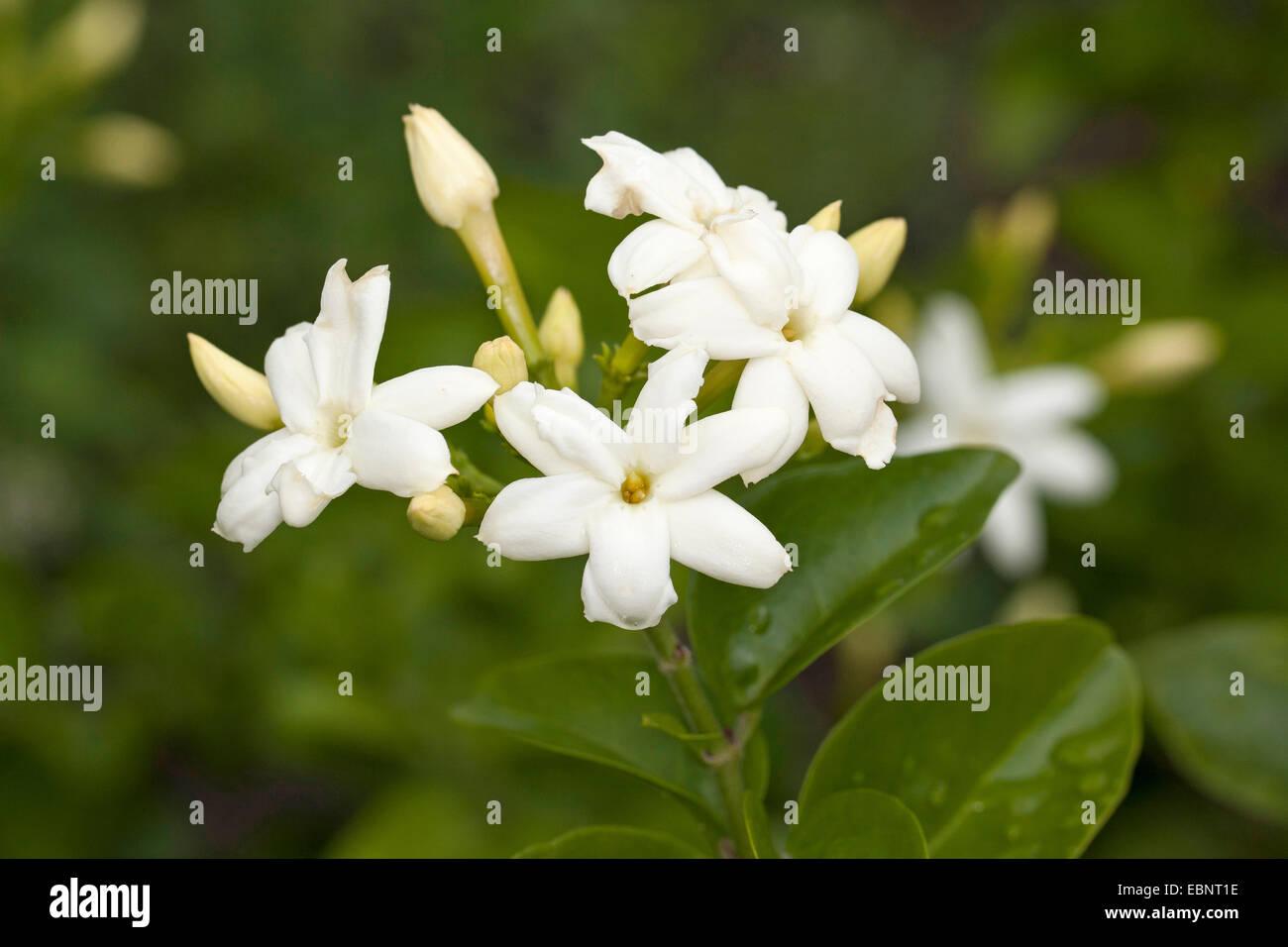 Arabian jasmine (Jasminum sambac), blooming - Stock Image