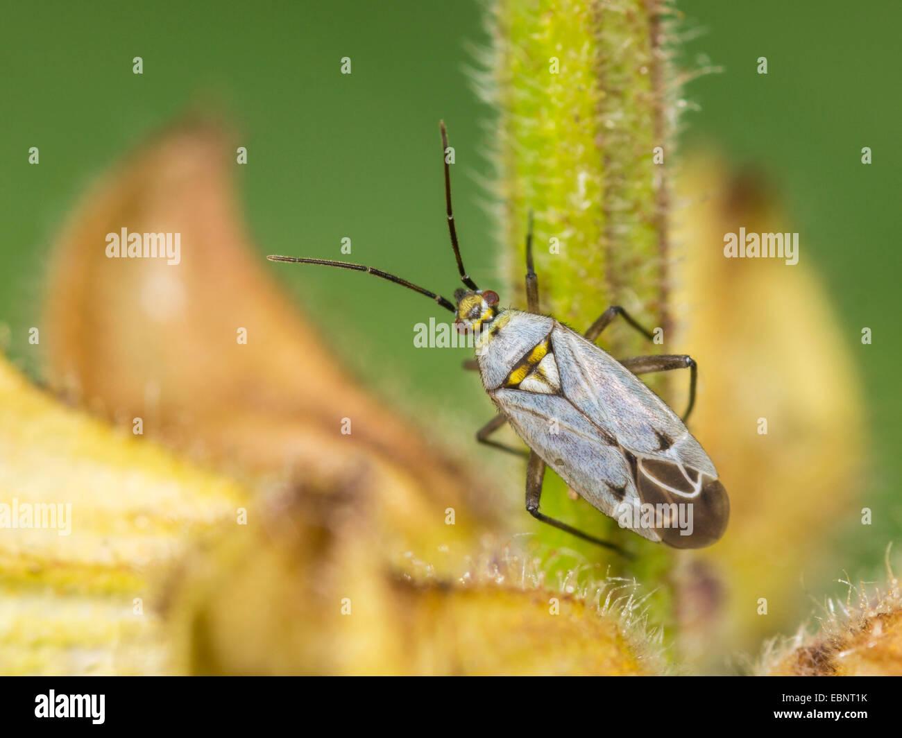 Capsid bug (Macrotylus herrichi), female on sage, Salvia pratensis , Germany - Stock Image