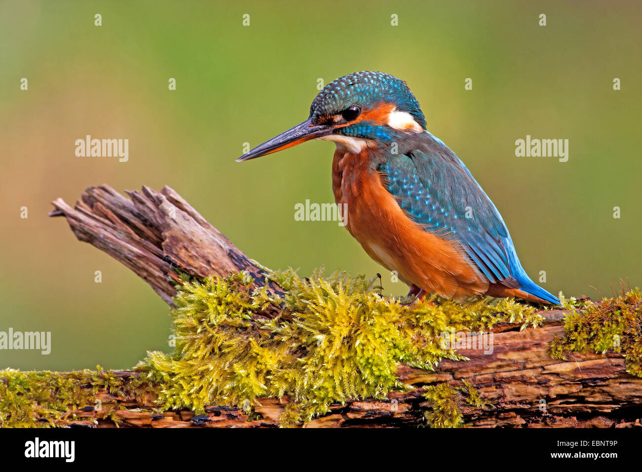 river kingfisher (Alcedo atthis), on its lookout, Switzerland, Rheineck - Stock Image