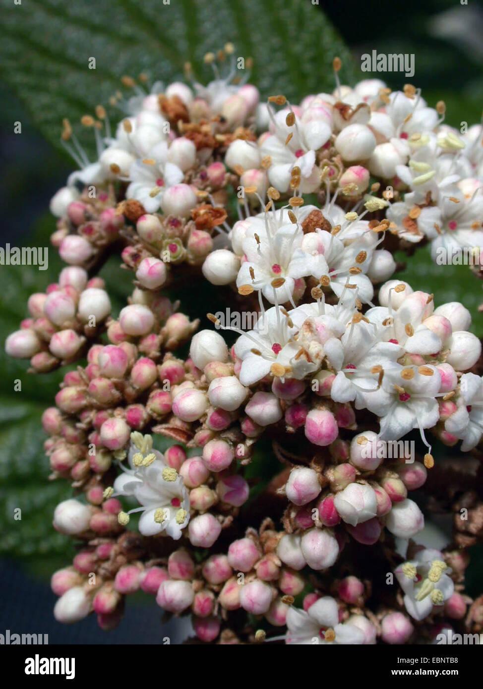 leatherleaf viburnum (Viburnum rhytidophyllum), flowers - Stock Image