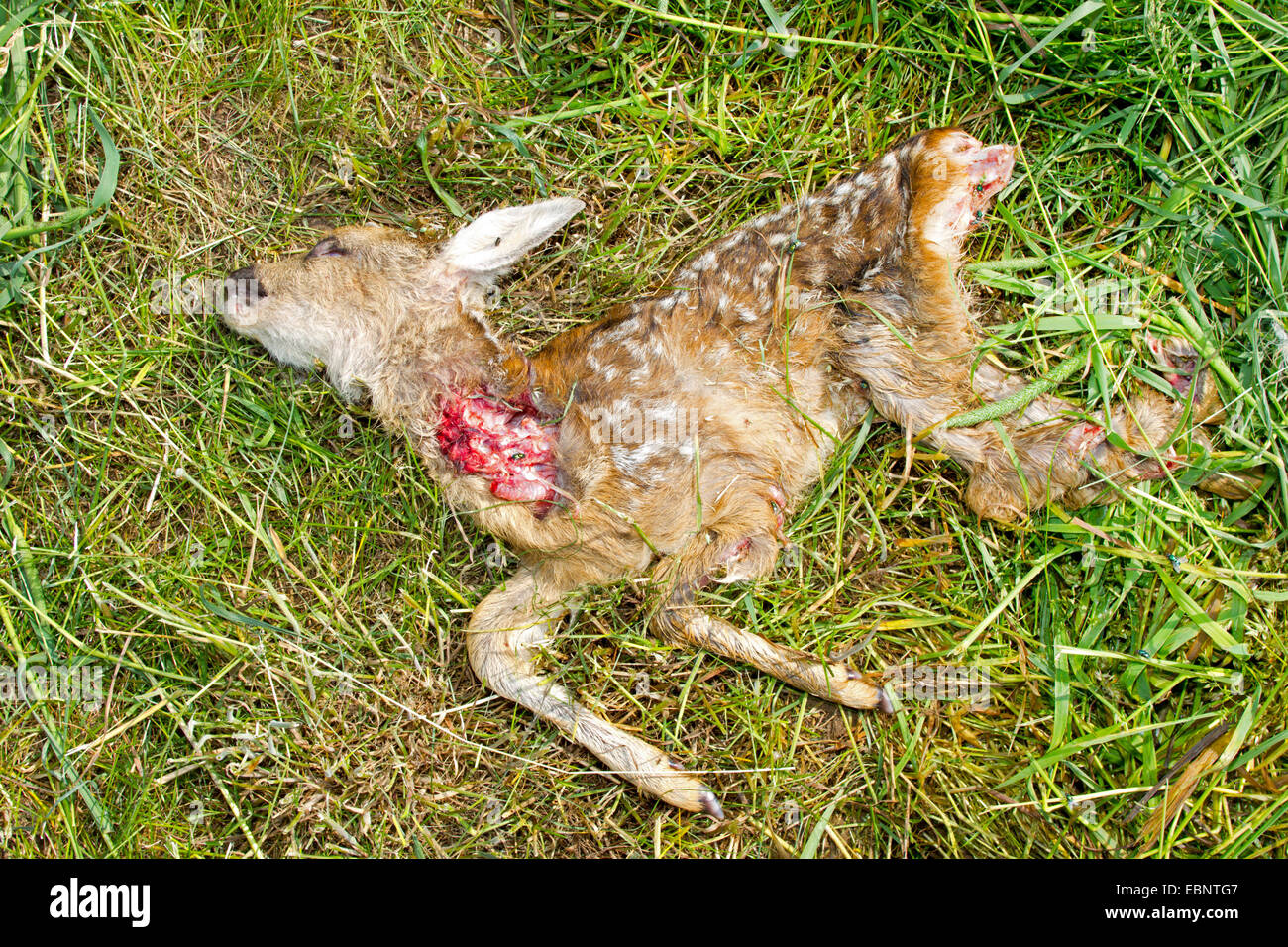 roe deer (Capreolus capreolus), fawn killed by tractor, Germany - Stock Image