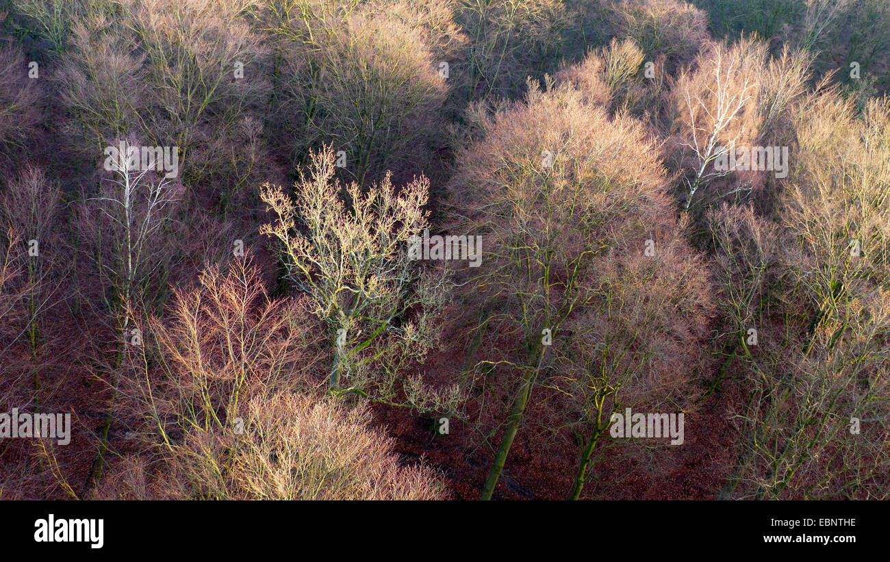 view from treetop path to tree tops in winter, Germany, Mecklenburg-Western Pomerania, Ruegen, Prora - Stock Image