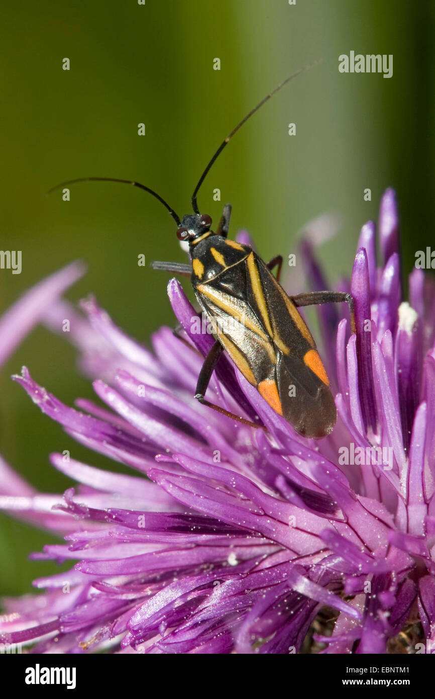 Bug (Hadrodemus m-flavum), on lilac composite flower, Germany - Stock Image