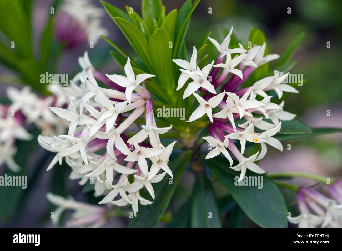 Blagay's Daphne, King's Rose, Balkan daphne (Daphne blagayana), blooming - Stock Image