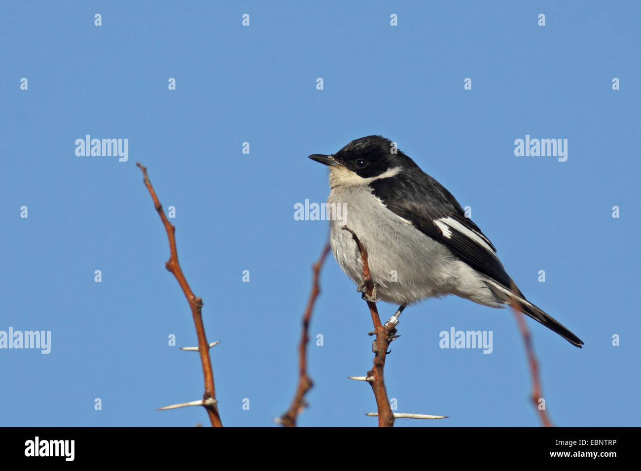 fiscal flycatcher (Melaenornis silens), sitting on a bush, South Africa, Barberspan Bird Sanctury - Stock Image