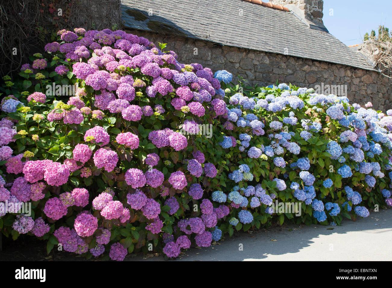 Garden Hydrangea, Lace Cap Hydrangea (Hydrangea Macrophylla), Blooming In A  Front Garden