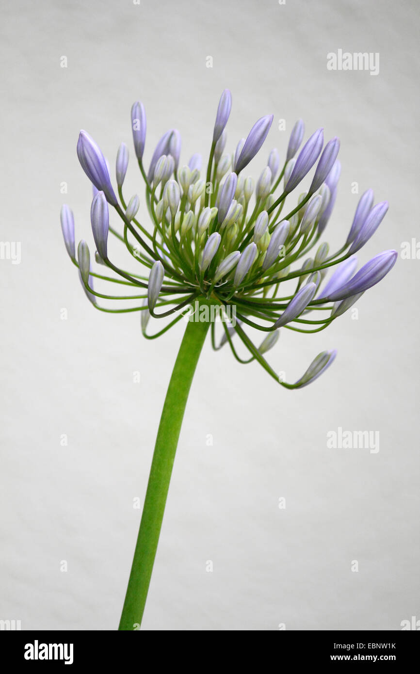 African lily (Agapanthus-Hybride), inflorescence - Stock Image