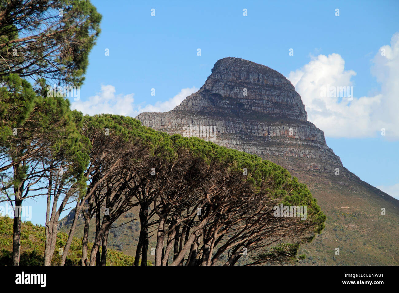 Lions Head mountain and pines in the foreground, South Africa, Table Mountain National Park, Capetown - Stock Image