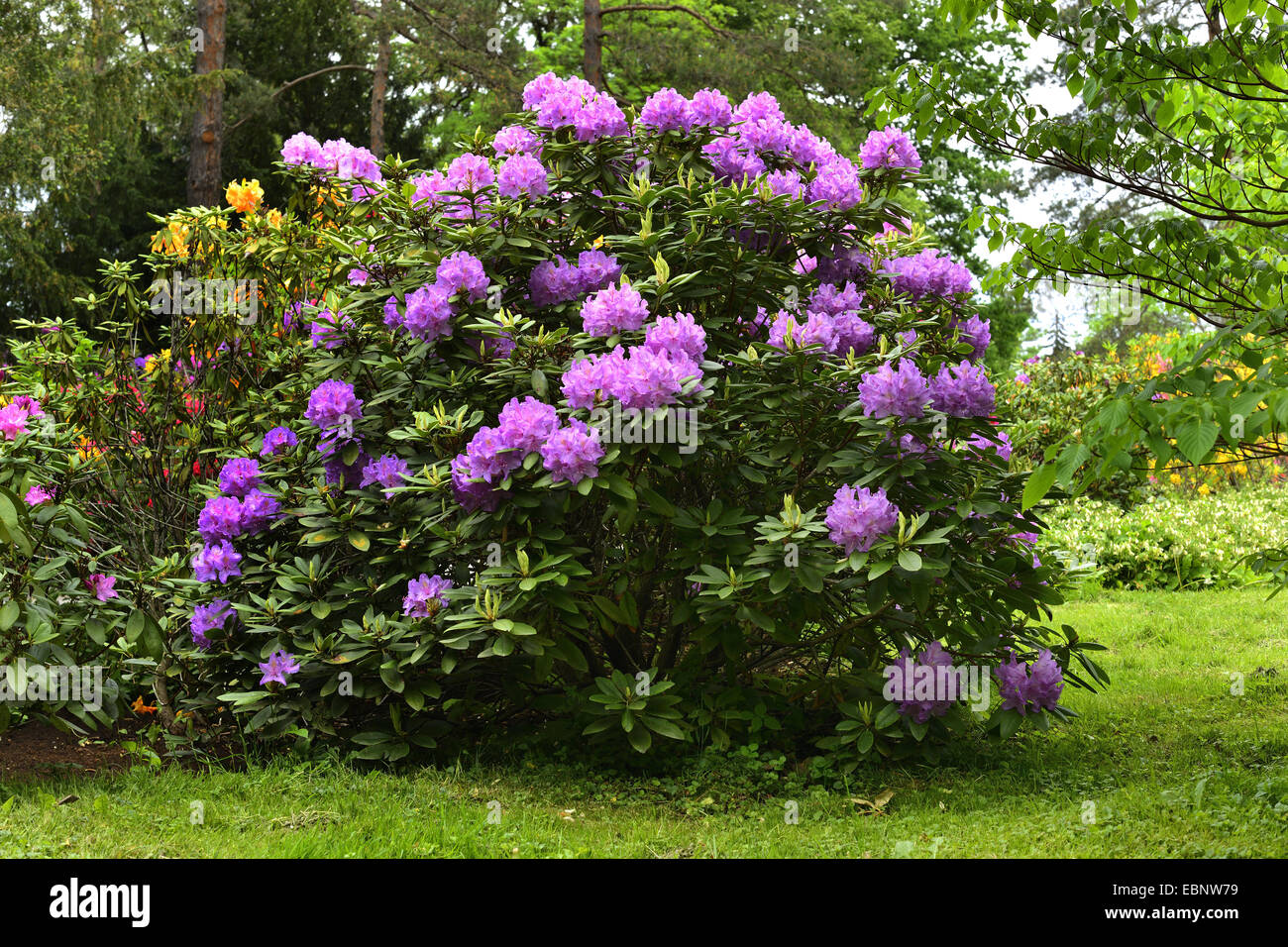 Catawba rhododendron, Catawba rose bay (Rhododendron catawbiense), blooming in a park, Austria, Styria - Stock Image