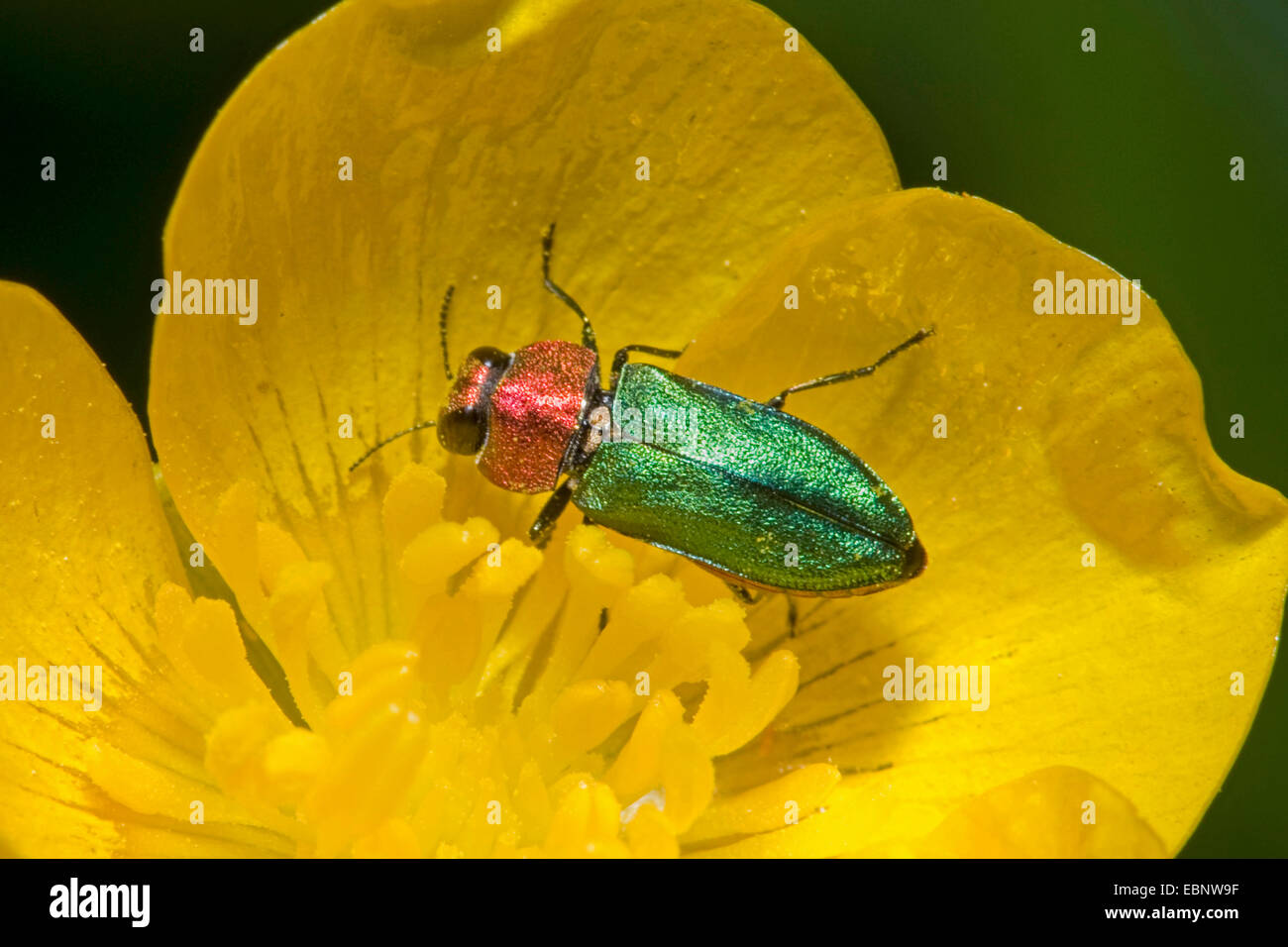Jewel beetle, Metallic wood-boring beetle (Anthaxia nitidula), on a yellow flower, Germany - Stock Image