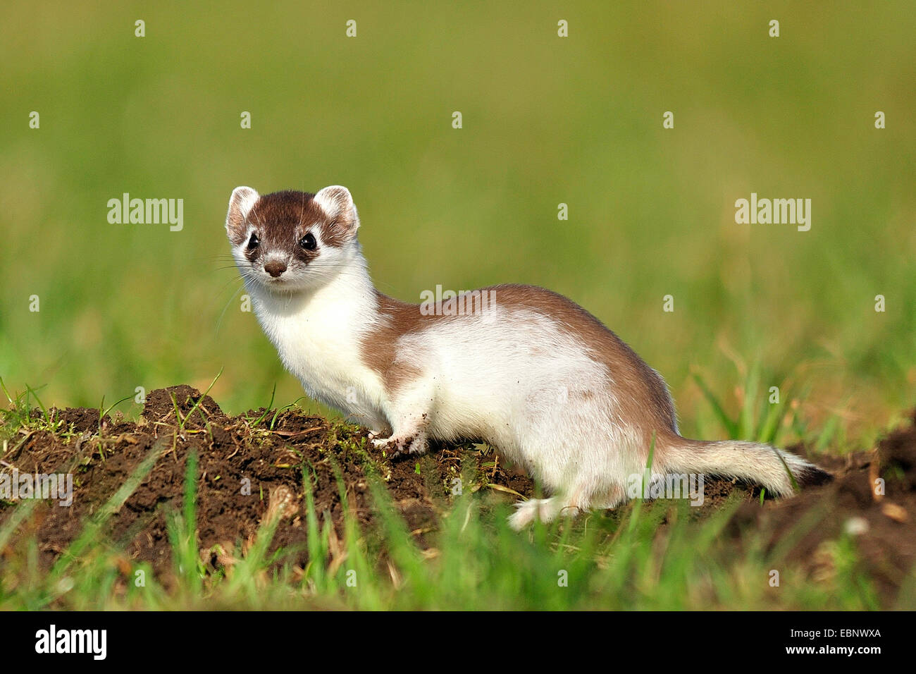 weasel deutsch