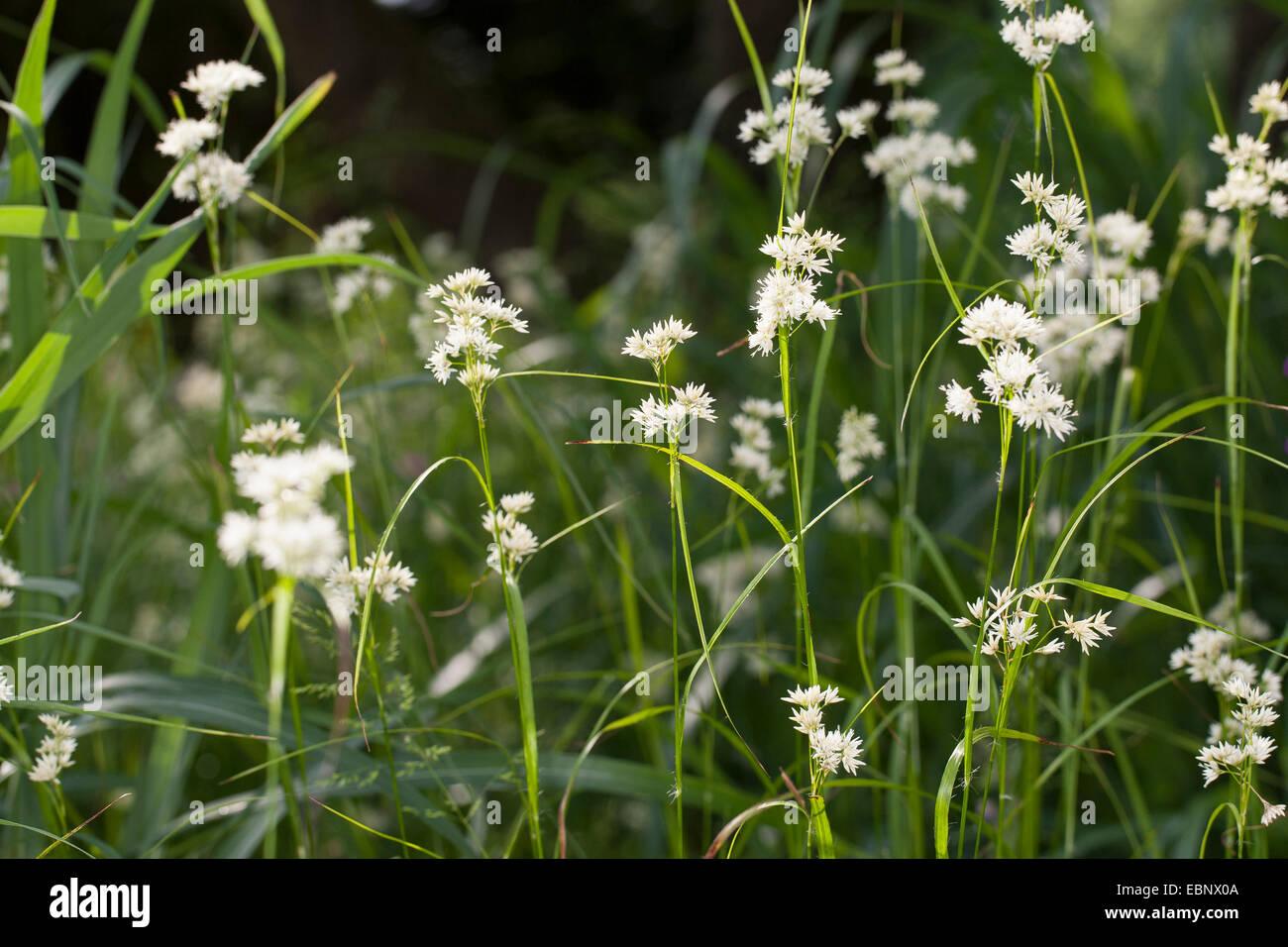 Snowy woodrush, Snowy wood sedge, Snowy wood rush (Luzula nivea), blooming, Germany Stock Photo