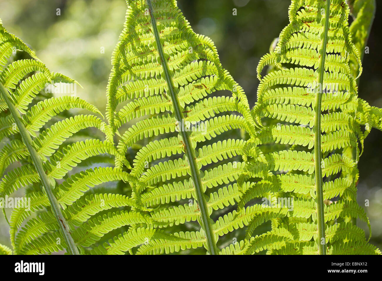 European Ostrich Fern, Ostrich Fern (Matteuccia struthiopteris), leaves in backlight, Germany - Stock Image