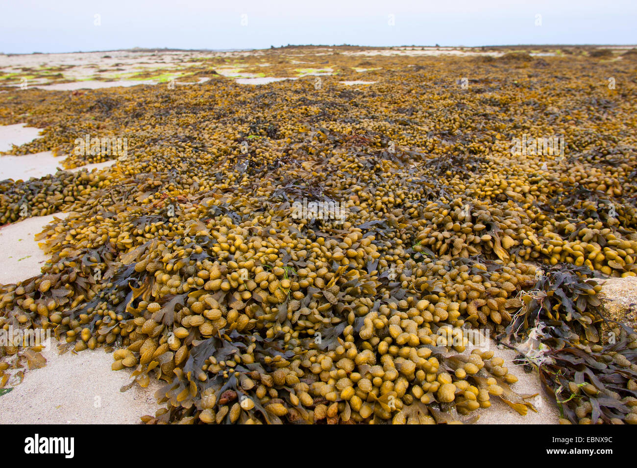 Spiral wrack, Flat wrack, Jelly bags, Spiraled Wrack (Fucus spiralis), washed up wrack on the beach, Germany - Stock Image