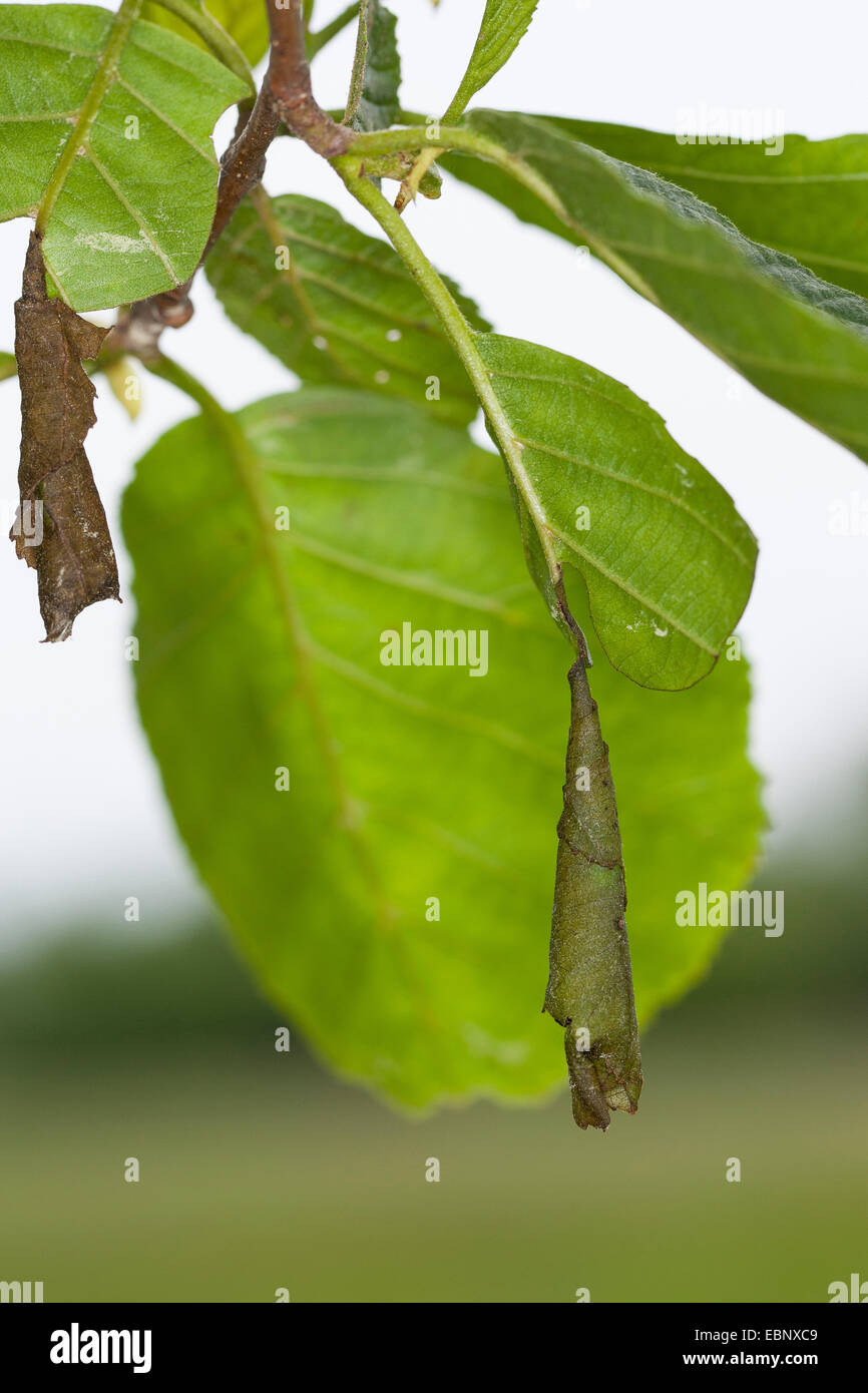 Leaf-rolling weevils (Attelabinae), leaf rolled up by a beetle, Germany - Stock Image