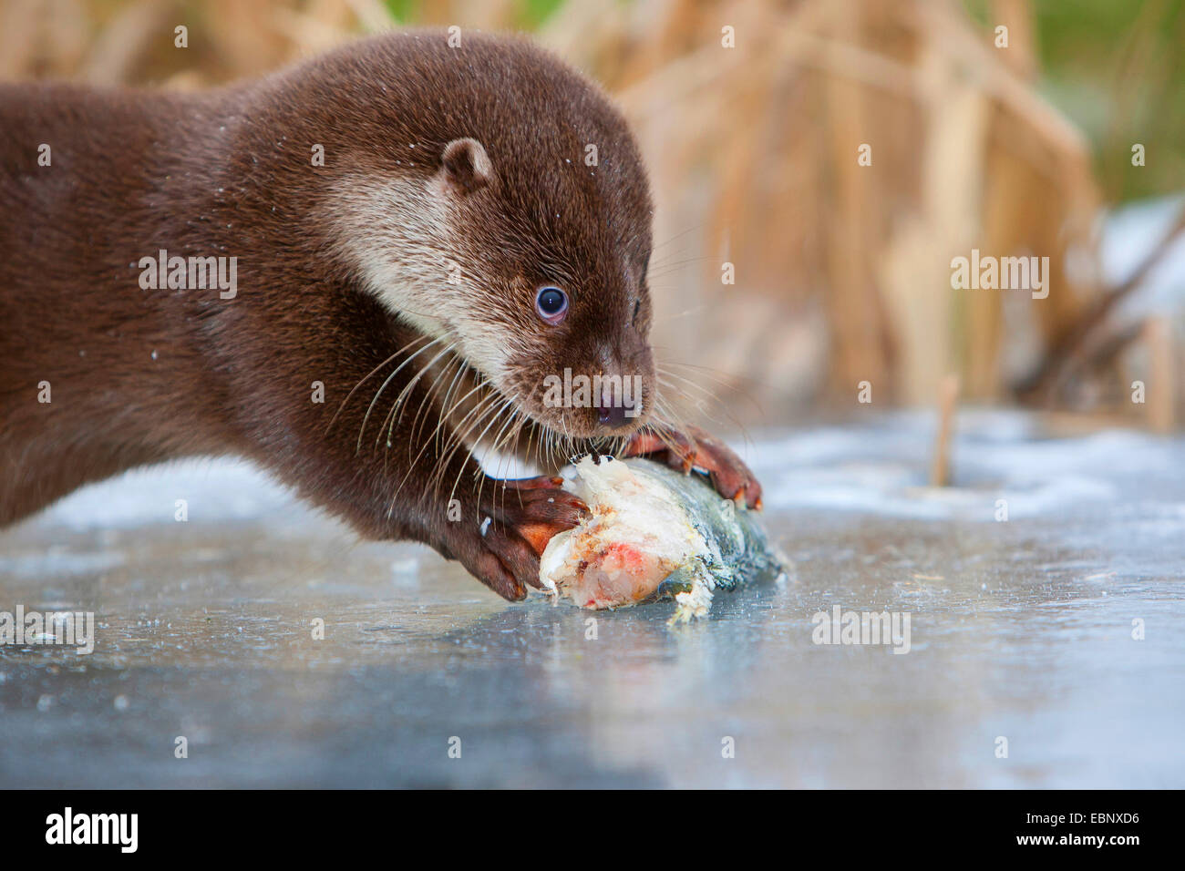European river otter, European Otter, Eurasian Otter (Lutra lutra), female eating a catched redfin perch, Germany - Stock Image