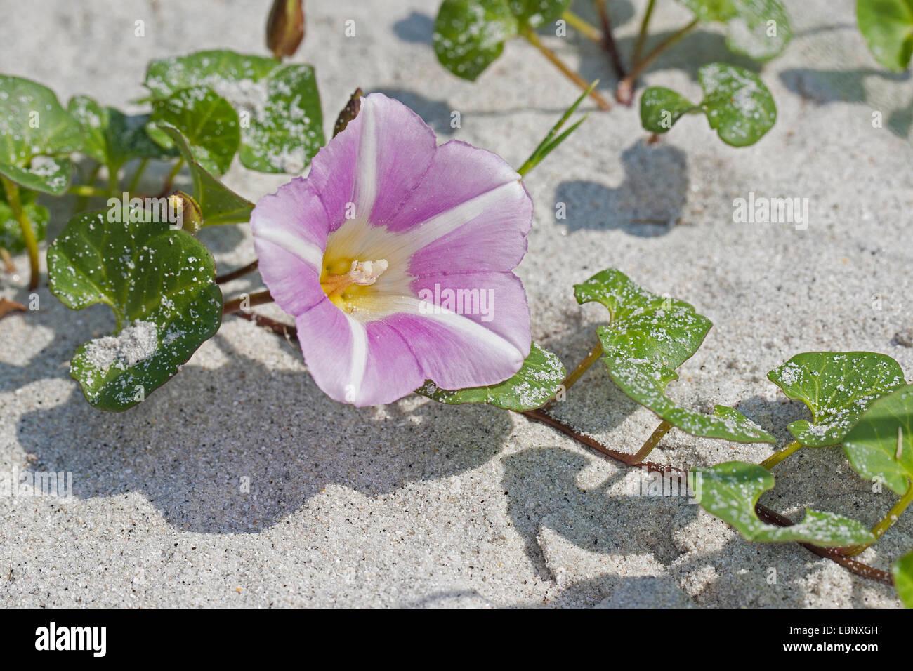 Beach morning-glory, Sea bindweed, Seashore false bindweed, Seashore morning-glory (Calystegia soldanella, Convolvulus - Stock Image