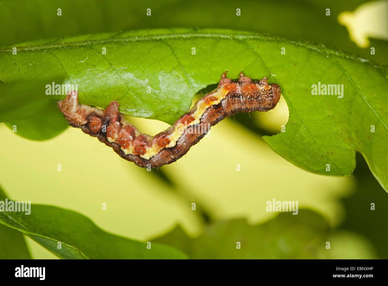 Mottled umber (Erannis defoliaria, Phalaena defoliaria, Hybernia defoliaria), caterpillar feeeding on oak leaf, - Stock Image