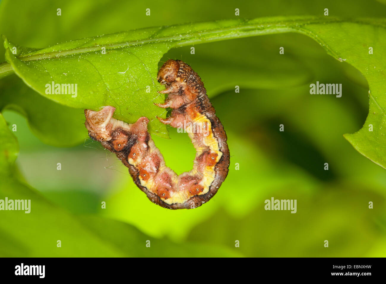 Mottled umber (Erannis defoliaria, Phalaena defoliaria, Hybernia defoliaria), caterpillar feeding on oak leaf, forest - Stock Image