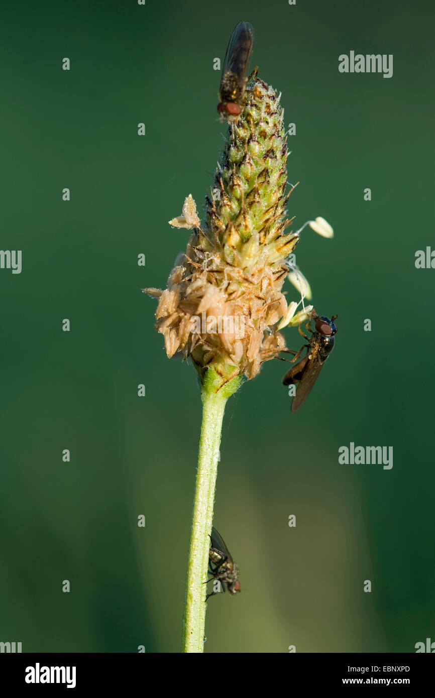 buckhorn plantain, English plantain, ribwort plantain, rib grass, ripple grass (Plantago lanceolata), inflorescens - Stock Image