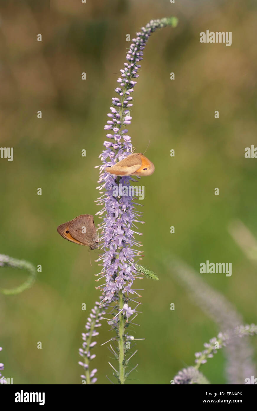 Long-leaved speedwell (Pseudolysimachion longifolium, Veronica longifolia), inflorescence with butterflies, Germany, - Stock Image