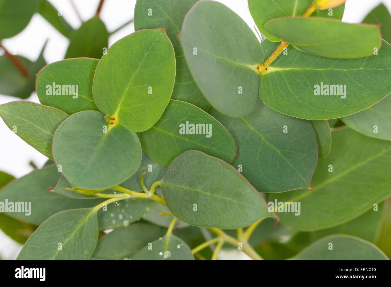 Tasmanian Snow Gum, Mount Wellington Peppermint, Mt. Wellington Peppermint, Gum, Ironbark (Eucalyptus coccifera), - Stock Image