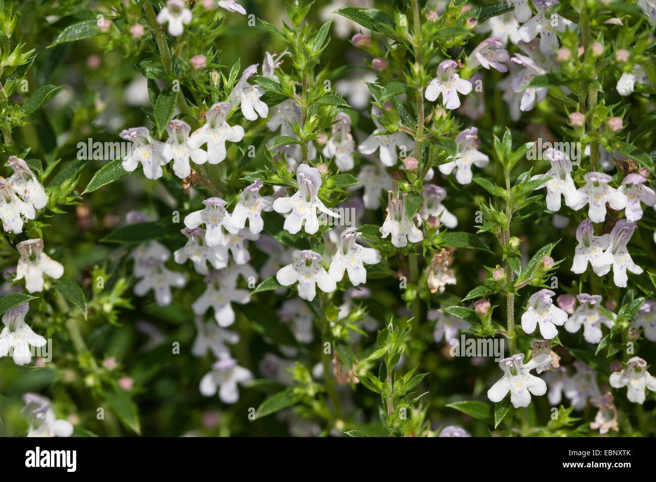 Winter savory (Satureja montana), blooming - Stock Image