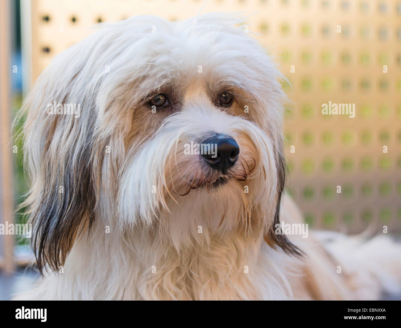 Tibetan Terrier, Tsang Apso, Dokhi Apso (Canis lupus f. familiaris), one year old bright sable and white male, portrait, - Stock Image
