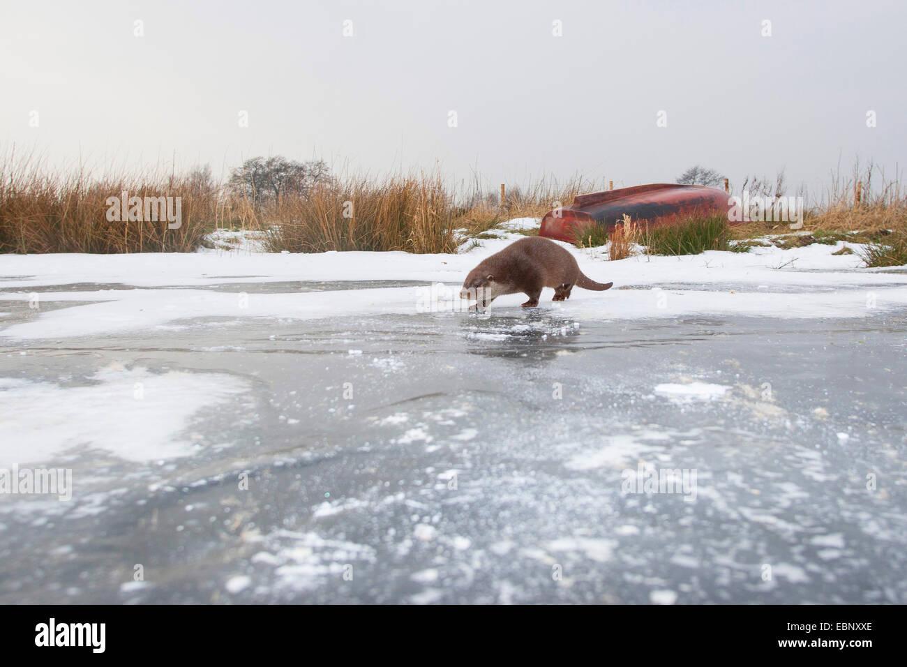 European river otter, European Otter, Eurasian Otter (Lutra lutra), female in the snow on a frozen up ice sheet, - Stock Image