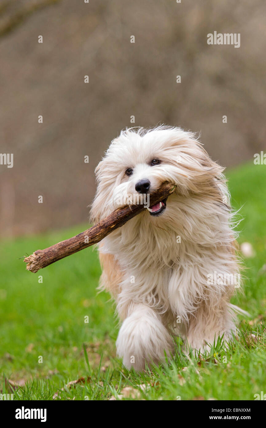 Tibetan Terrier, Tsang Apso, Dokhi Apso (Canis lupus f. familiaris), ten month old bright sable and white male running - Stock Image