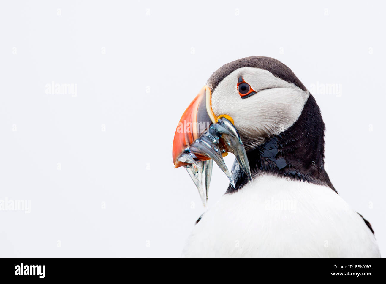 Atlantic puffin (Fratercula arctica), with caught sandeels in bill, portrait in front of white sky. High-key lighting, - Stock Image