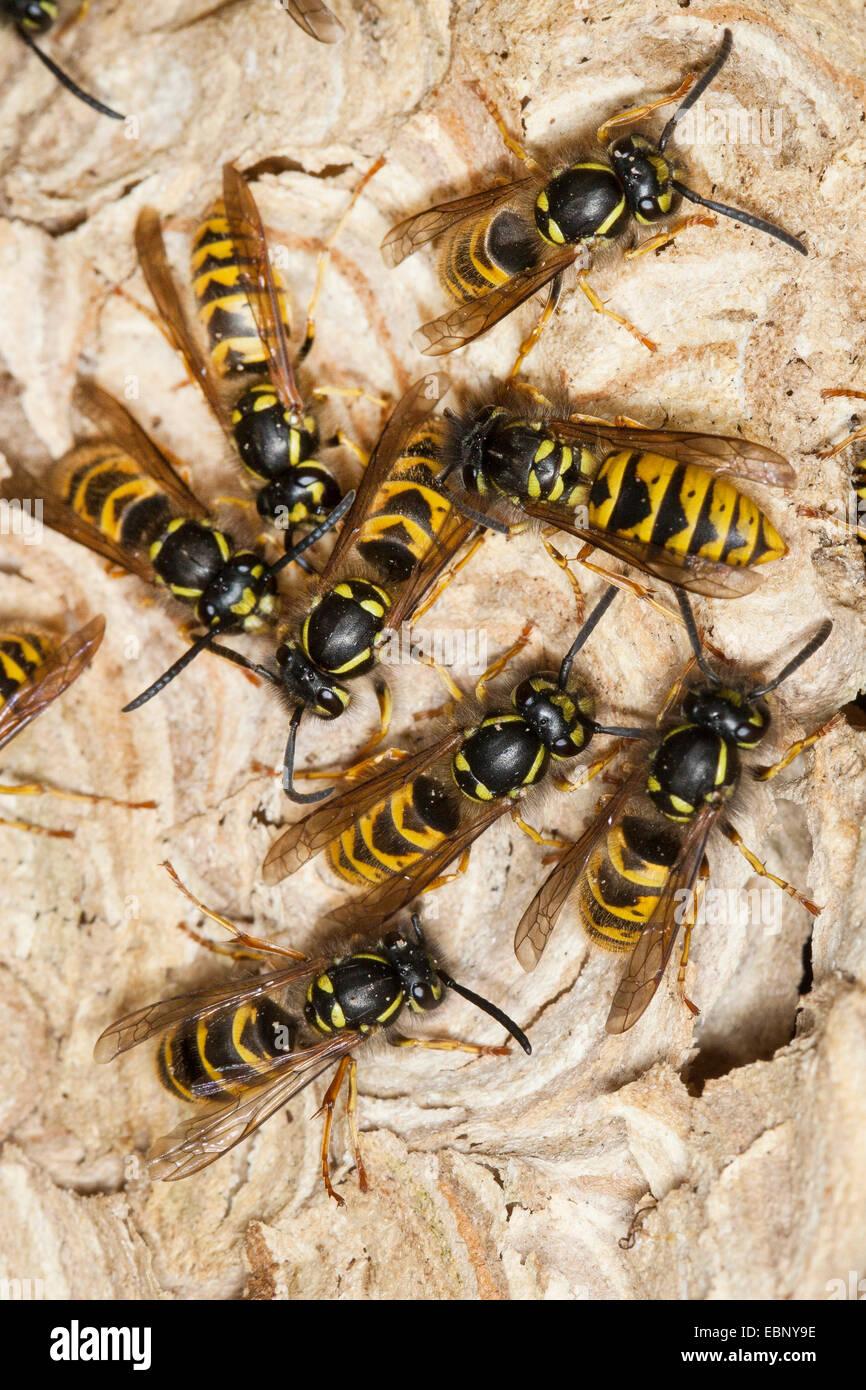 common wasp (Vespula vulgaris, Paravespula vulgaris), wasps at the wasps nest, Germany - Stock Image