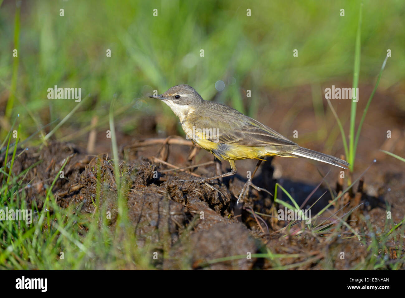 Yellow wagtail (Motacilla flava), female searching food on the ground, Finland - Stock Image