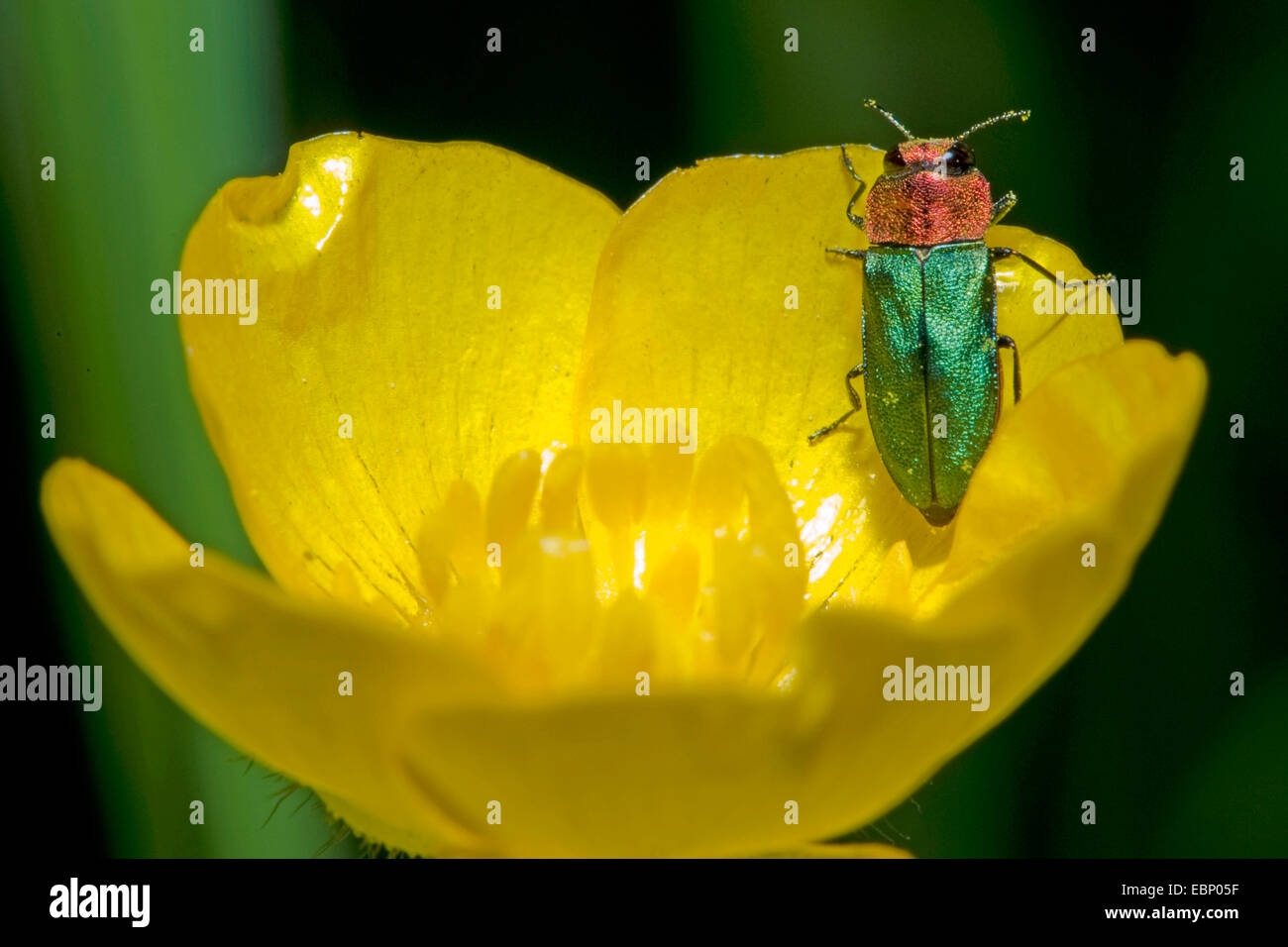 Jewel beetle, Metallic wood-boring beetle (Anthaxia nitidula), on a flower, Germany - Stock Image