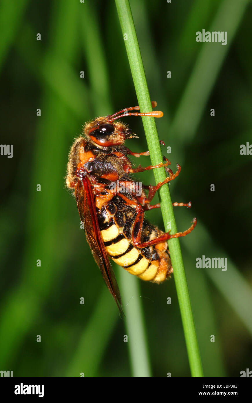 Clubhorned sawfly (Cimbex luteus), at a blade of grass, Germany - Stock Image