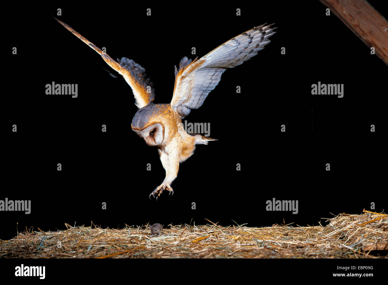 Barn owl (Tyto alba), gripping after a mouse in a barn, Germany - Stock Image