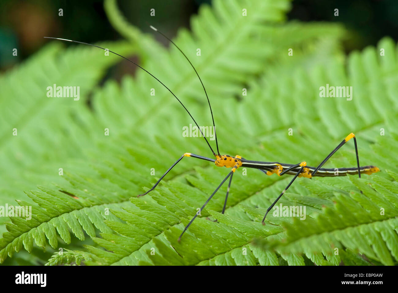 Peruvian fire stick (Oreophoetes peruana), on a leaf - Stock Image
