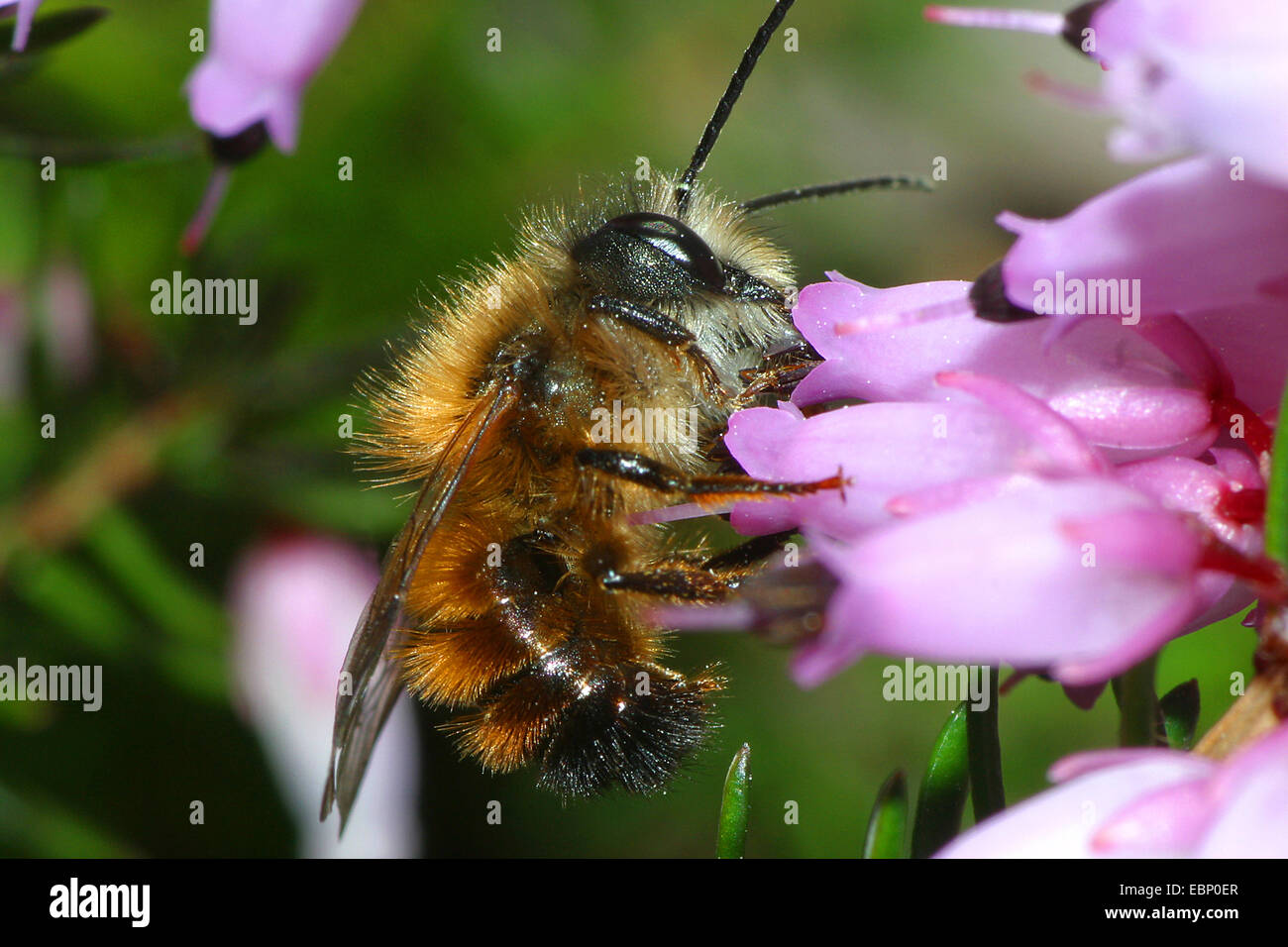 red mason bee (Osmia rufa, Osmia bicornis), at heath flowers, Germany - Stock Image