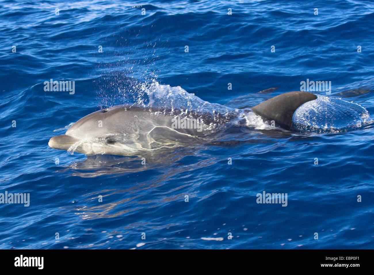 Bottlenosed dolphin, Common bottle-nosed dolphin (Tursiops truncatus), Spyhopping, Canary Islands, La Gomera - Stock Image