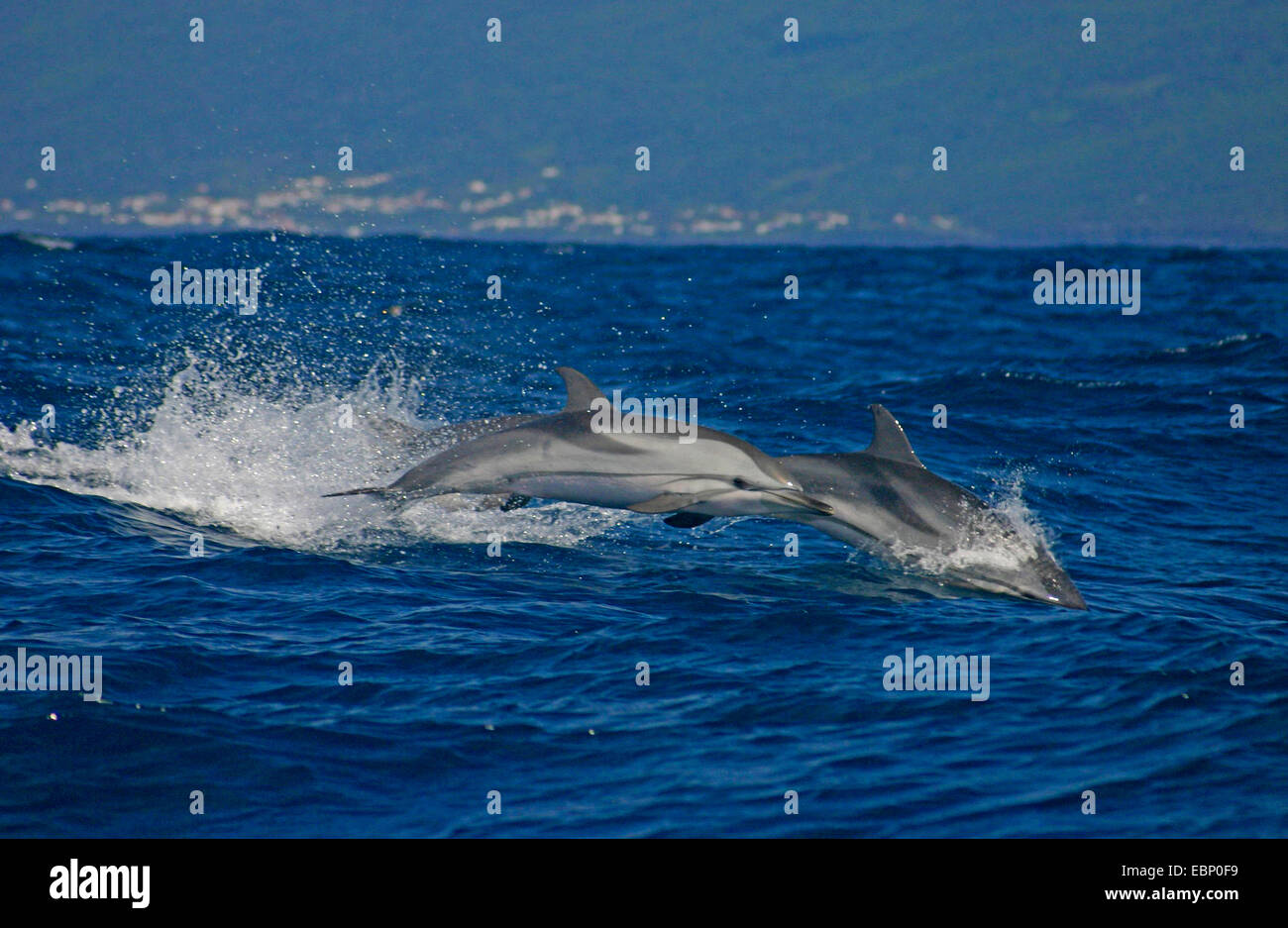 striped dolphin, blue-white dolphin, Euphrosyne dolphin (Stenella coeruleoalba), two dolphins jumping out of the - Stock Image