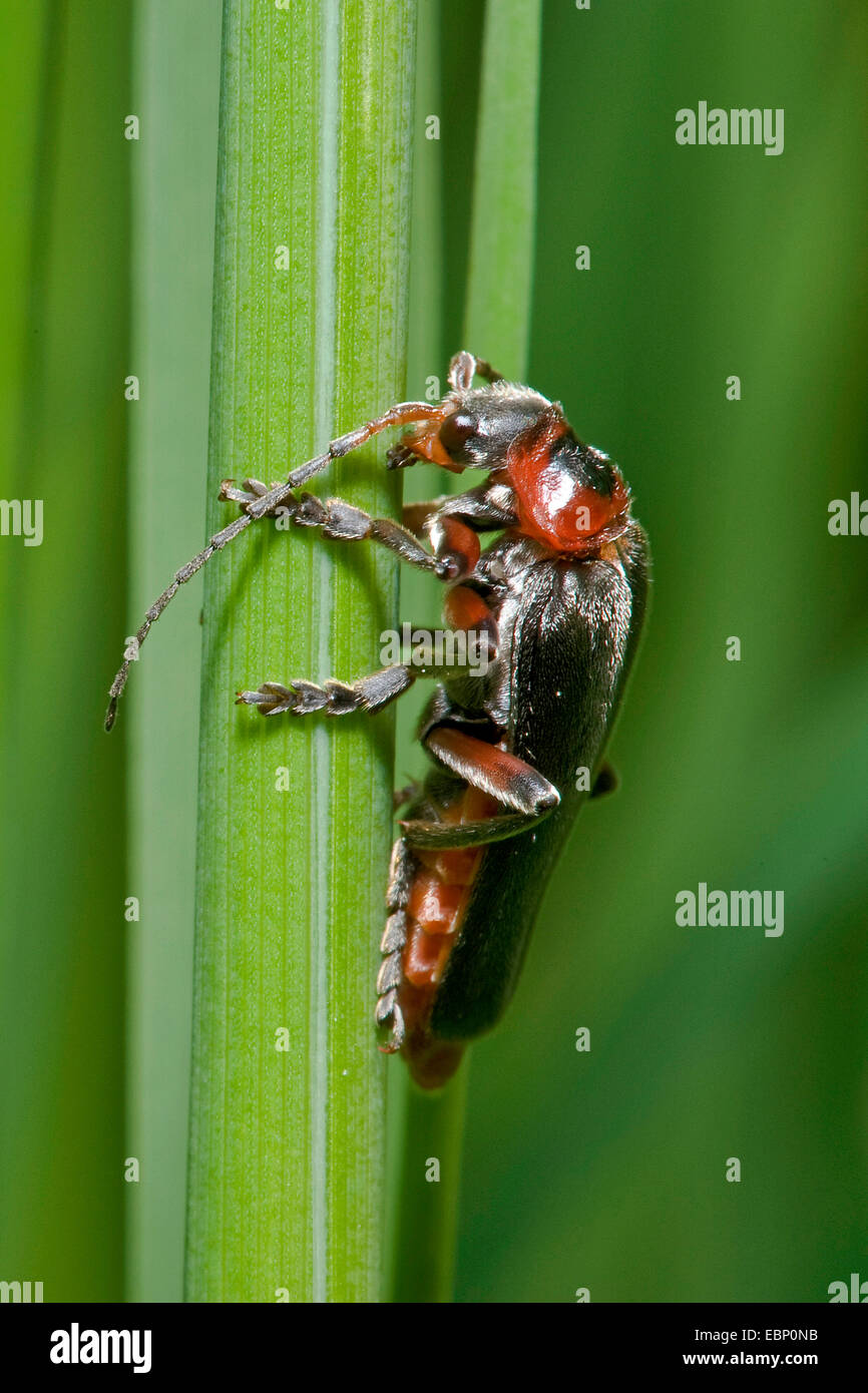 Soldier beetle (Cantharis rustica), at a blade of grass, Germany - Stock Image