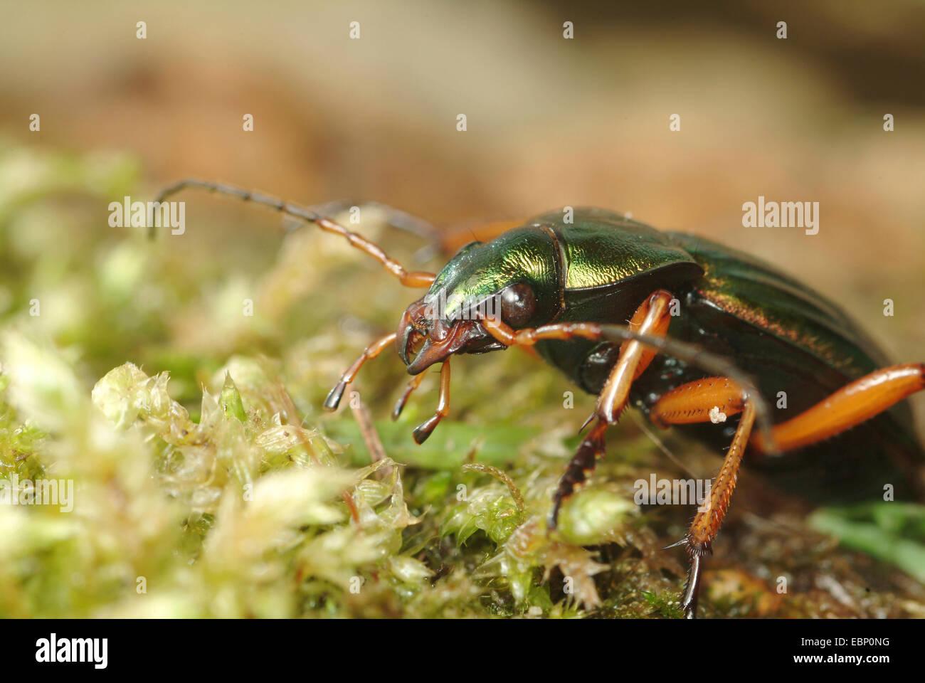 Golden ground beetle, Gilt ground beetle (Carabus auratus), portrait, Germany - Stock Image