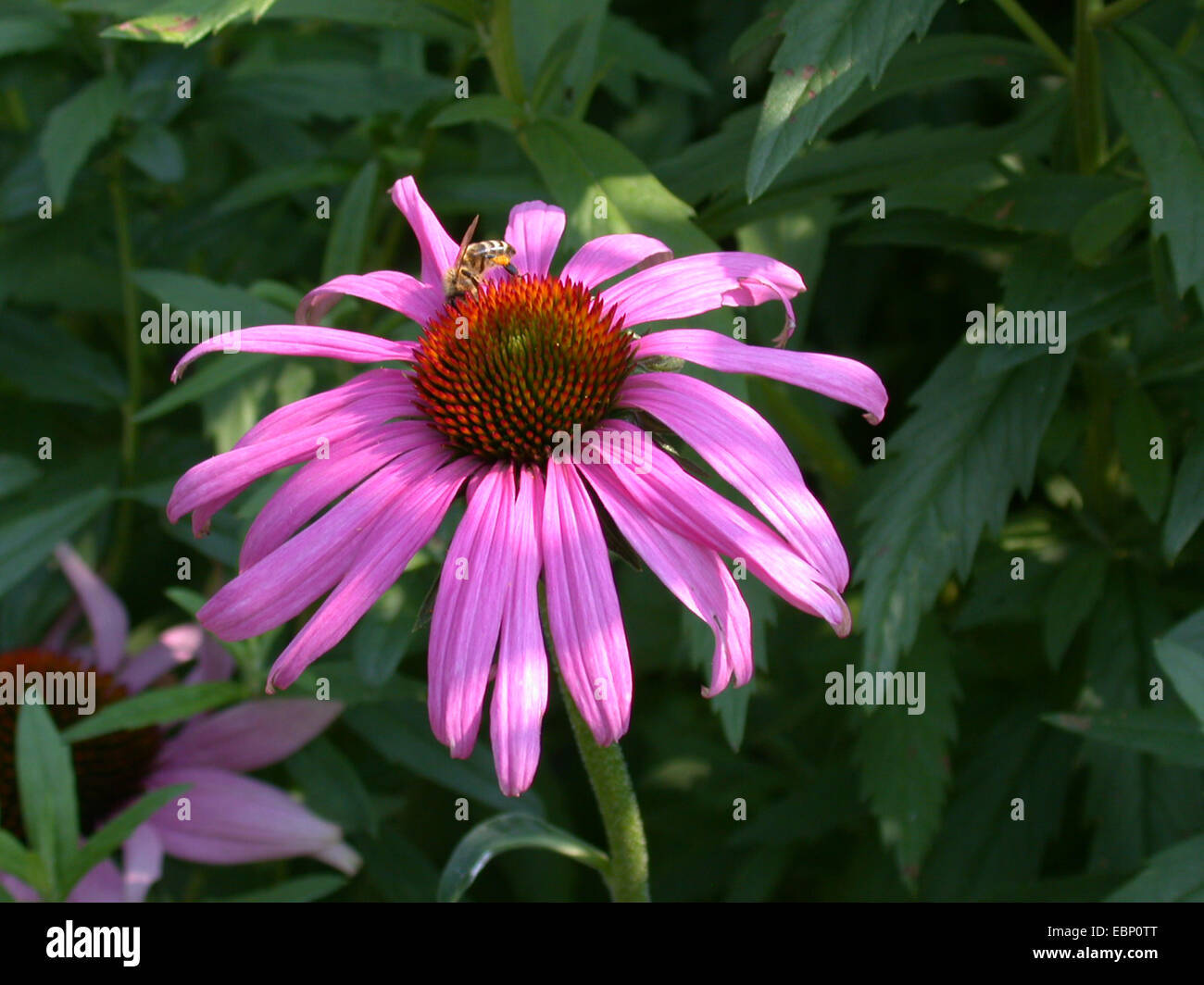 Purple Cone Flower, Eastern purple-coneflower, Purple-coneflower (Echinacea purpurea, Rudbeckia purpurea, Brauneria - Stock Image