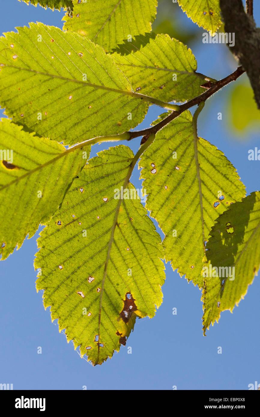 European elm, European White Elm, Fluttering Elm, Spreading Elm, Russian Elm (Ulmus laevis, Ulmus effusa), branch - Stock Image